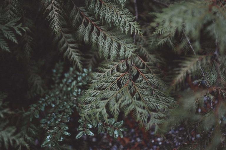 close up of evergreen branches