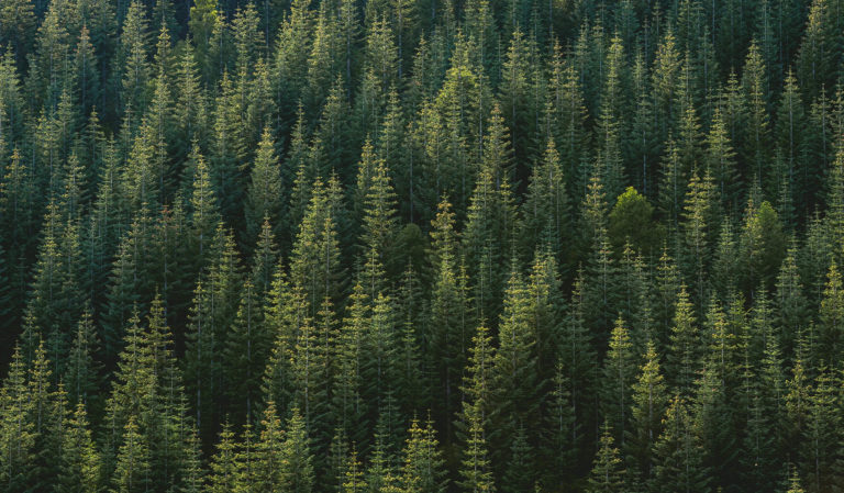 evergreen forest from the air