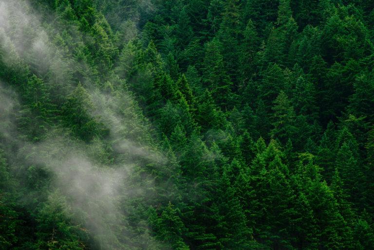 mist drifts over evergreens